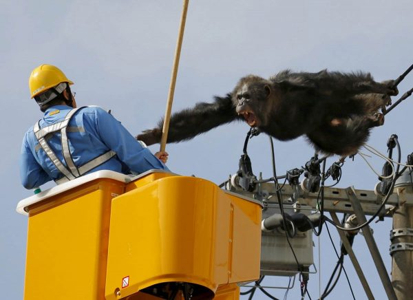 a-male-chimpanzee-screams-after-escaping-from-a-nearby-zoo-northern-japan-here-a-man-tries-to-capture-him-on-the-power-lines-in-a-residential-area