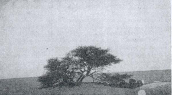 tree-of-tenere-4[6]