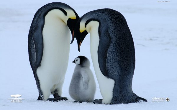 28-penguen