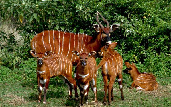 30-Afrika-Bongolari