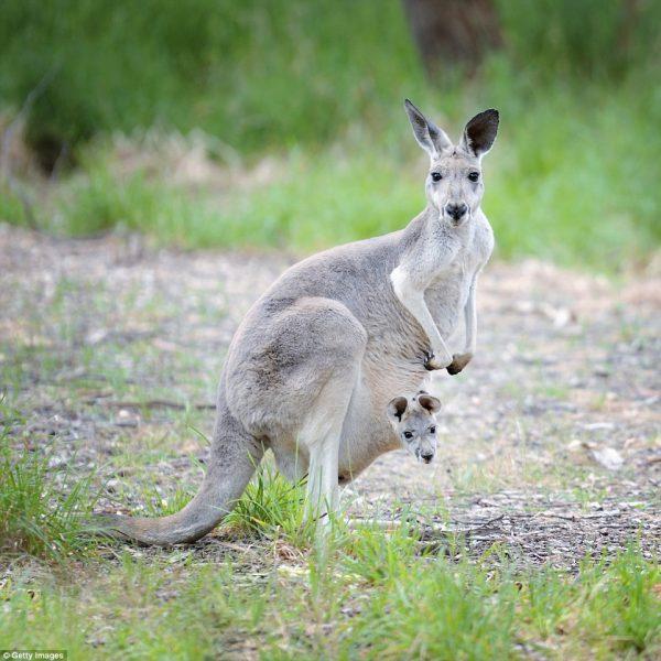 8-kangroo