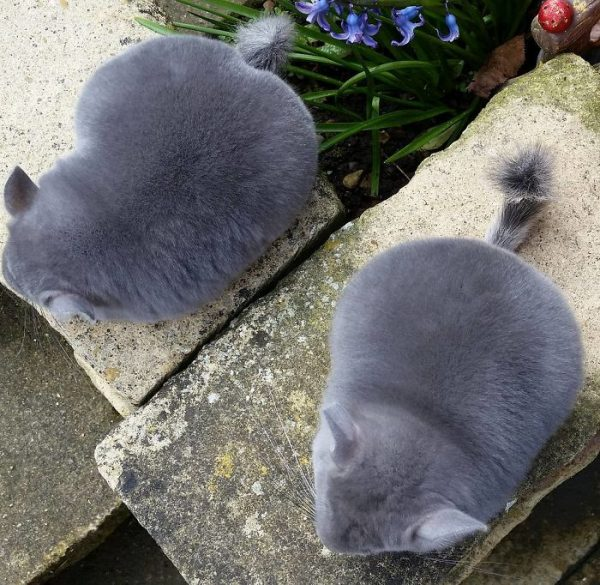 These-Perfectly-round-chinchillas-is-the-cutest-thing-youll-see-today-58ad58eb3a67b__700-1