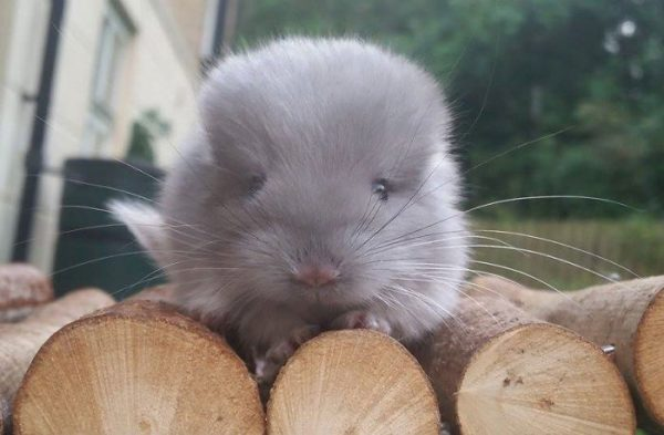 These-Perfectly-round-chinchillas-is-the-cutest-thing-youll-see-today-58ad68f347275__700