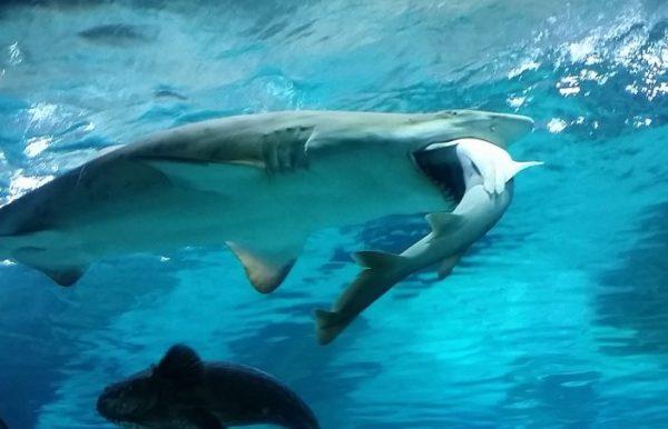 01-29-sharkeatingshark-01