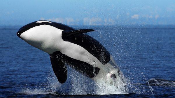 12-orca
