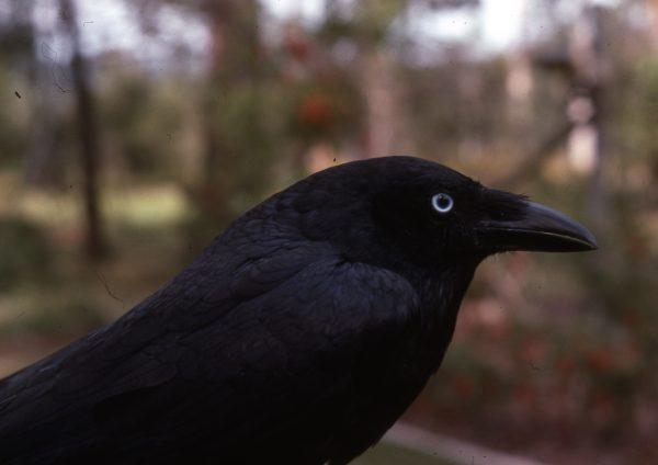 8-Corvus-oculum