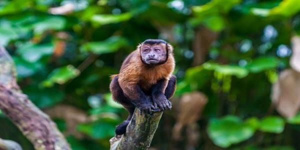 disi-kapucin-maymunu-ince-bir-dal-parcasiyla-burnunu-karistiriyor-bilimfilicom