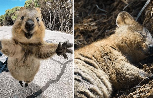 Quokka'ların Dünya'nın En Mutlu Hayvanları Olduğunun Kanıtı 19 Tatlış Ötesi  Görsel   ListeList.com