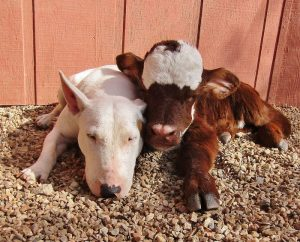 miniature-rescue-cow-dogs-moonpie-4-58d3d3b807ae0__700