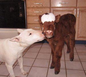 miniature-rescue-cow-dogs-moonpie-5-58d3d3bb7d11b__700