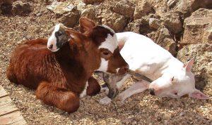 miniature-rescue-cow-dogs-moonpie-9-58d3d3ca1776a__700