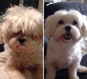 share-pictures-of-your-dogs-before-and-after-their-haircuts-3-58d27f286a2c2__700