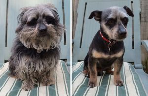 share-pictures-of-your-dogs-before-and-after-their-haircuts-4-58d27fa2068fb__700