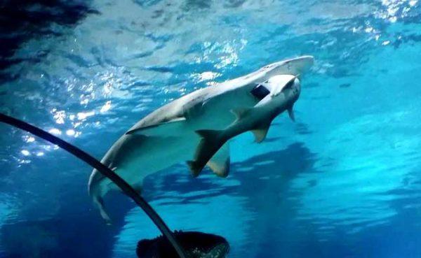 shark-eats-shark_650x400_51454331066
