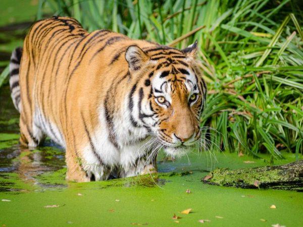 tiger-17