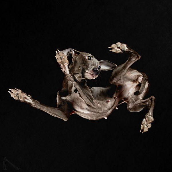 11-Under-dogs-1-NAME-ROMIA-CARINA-IS-NOVELES-BREED-Piccolo-Levriero-Italiano-58ec83c48d8dd__880