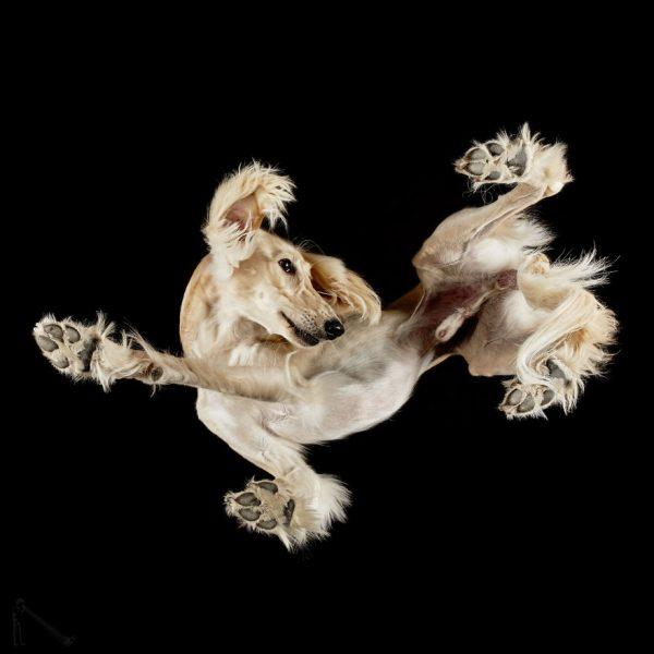 5-Under-dogs-BREED-Saluki-58ec83b0d3f81__880