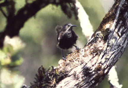 Kauai O'o (Moho braccatus) or 'O'o'a'a in Alakai Swamp, Kauai, Hawaii. Believed to be extinct.