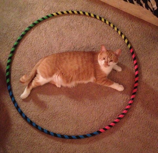 Orange-Tabby-in-Hoop