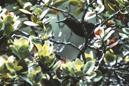 Kauai O'o (Moho braccatus) or O'o'a'a in Alakai Swamp, Kauai, Hawaii. Believed to be extinct.