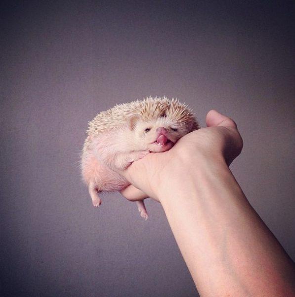 cutest-hedgehog-ever-18