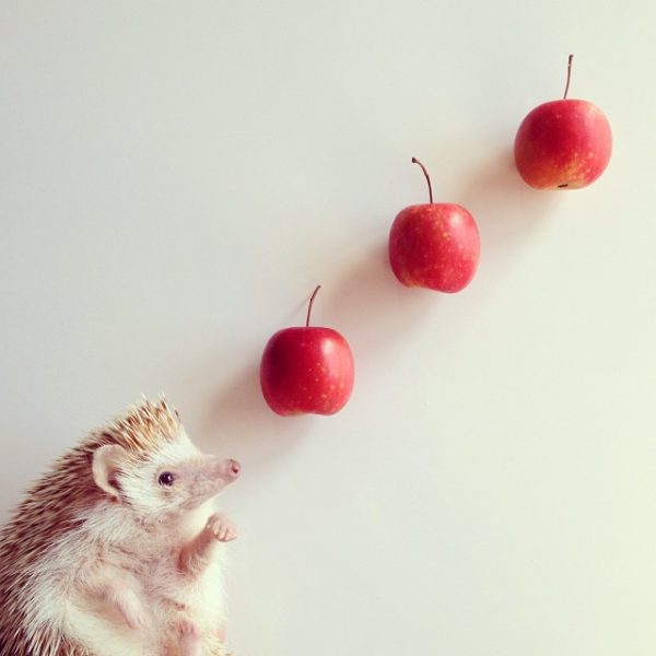 cutest-hedgehog-ever-2