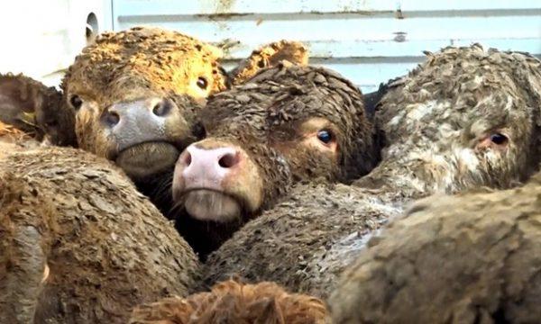 hayvanlar-acımasızca-taşınıyor