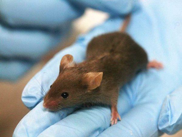 lab-mouse-mice-rat
