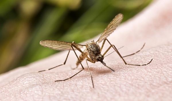 13mosquito-1