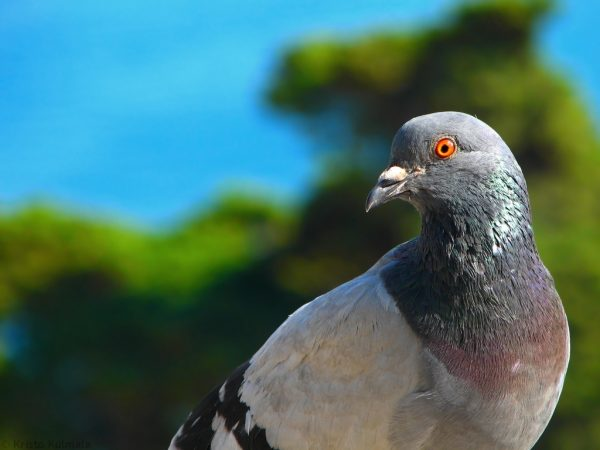 Beautiful-Pigeon-Wallpapers-4