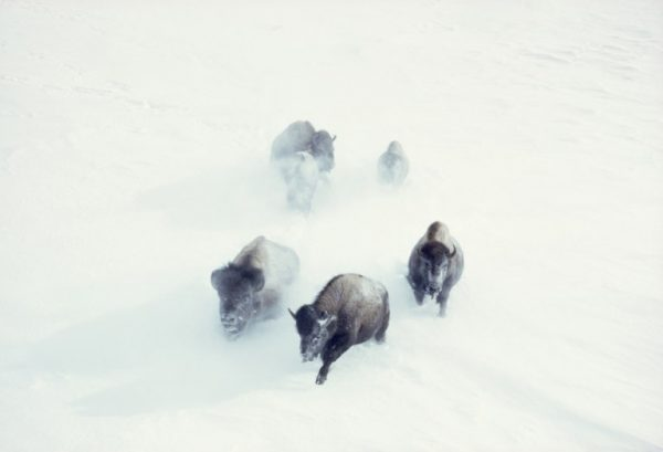 Bisonlar-Yellowstone-Milli-Parkı-1967.