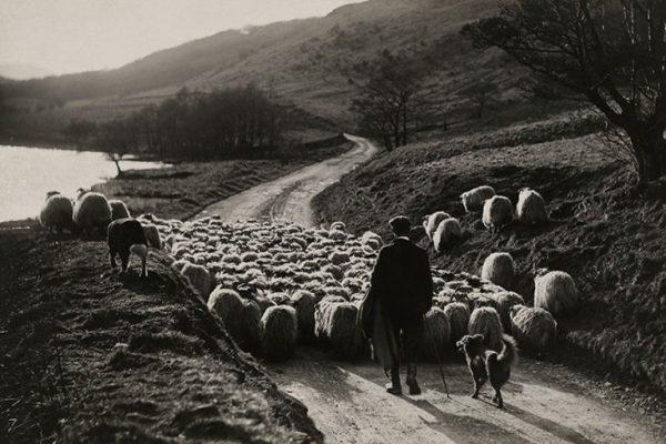 Koyun-sürüsü-ve-bir-çoban-İskoçya-1919
