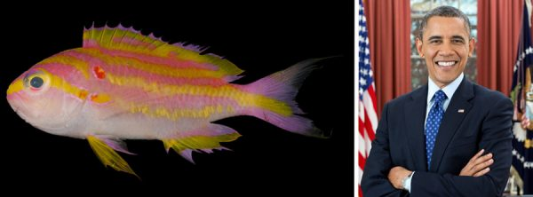 Tosanoides-obama-coral-reef-basslet-comparison-1