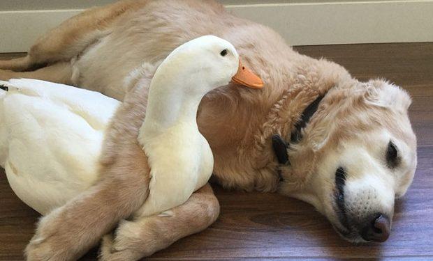 animal-friends-dog-barclay-pekin-duck-rudy-31-620x375.jpg