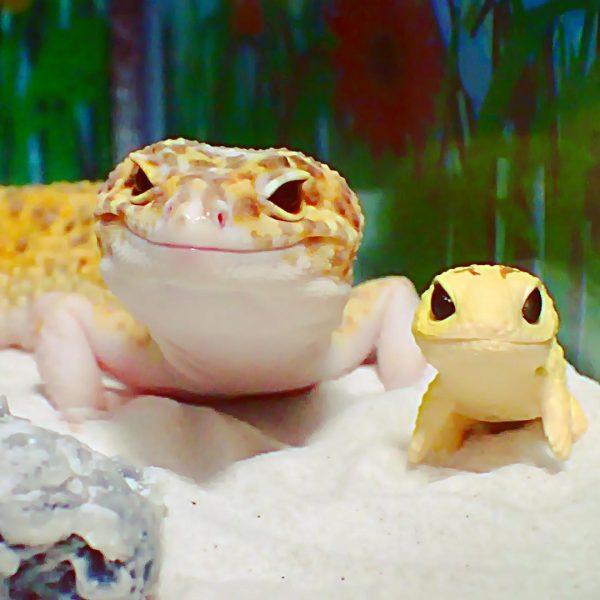 gulengecko1 (1)