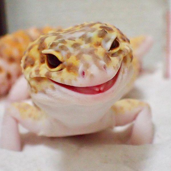 gulengecko1 (11)