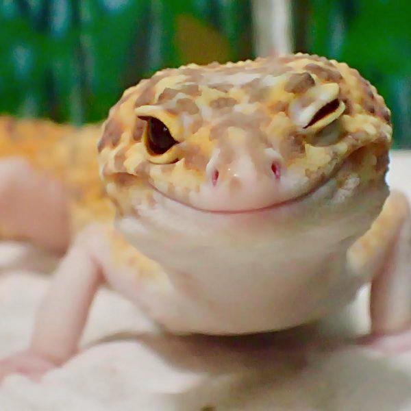 gulengecko1 (12)