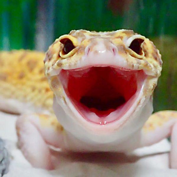 gulengecko1 (17)