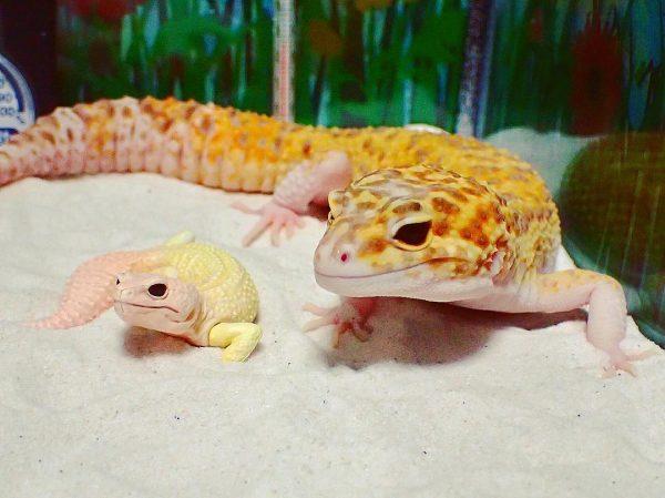 gulengecko1 (4)