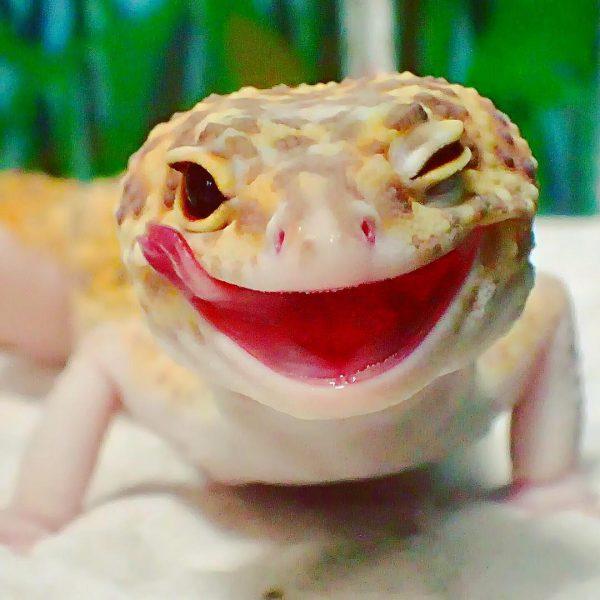 gulengecko1 (7)