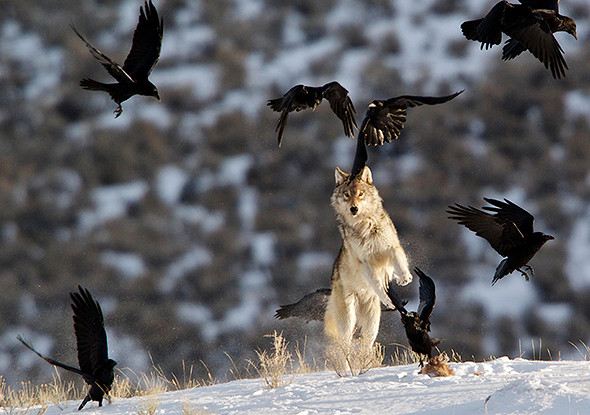 A gray wolf jumps at the ravens to scare them off its food.