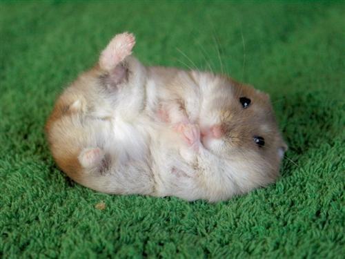 lavender_hamster (8)