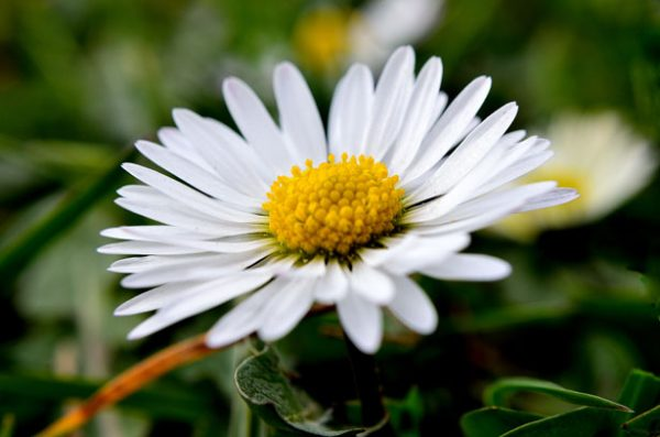 daisy-1332148905oWz