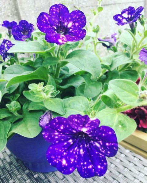 night-sky-petunia-cultivars-galaxy-flowers-11-593f86e86676d__700
