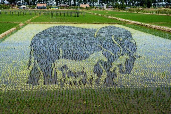 Chinese Farmers Create 3D Paintings In Rice Paddies