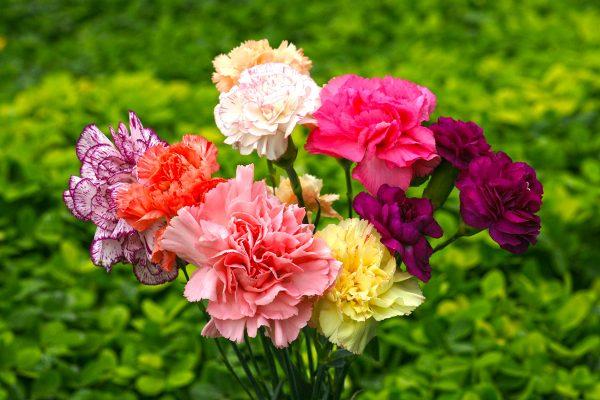 tessenderlo-agrochem-bitki-rehberi-karanfil-carnation-001