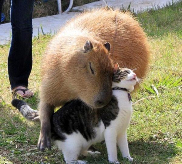 capybara (1)