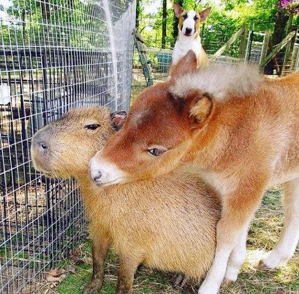 capybara (11)