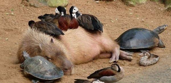 capybara (12)