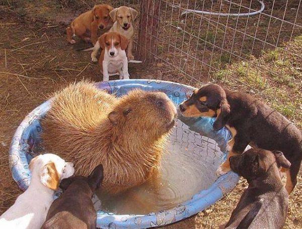 capybara (15)